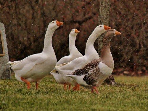 Простор для гусей