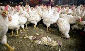 Определение птичьего гриппа у кур