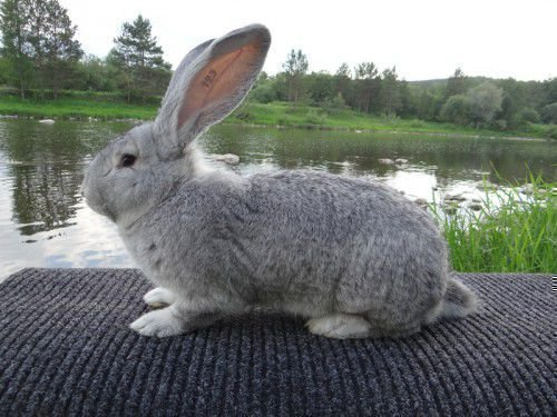 Кролик в пять месяцев
