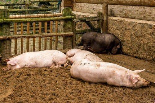 Расходы на свиноферму