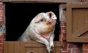 Как собственноручно построить свинарник