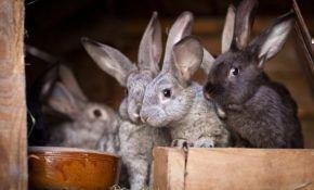Разведение кроликов – советы для начинающих
