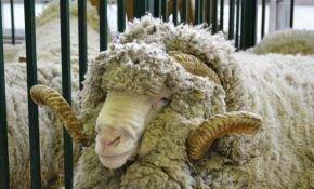 Порода овец-мериносов