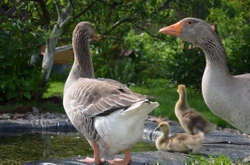Неплодовитые гуси