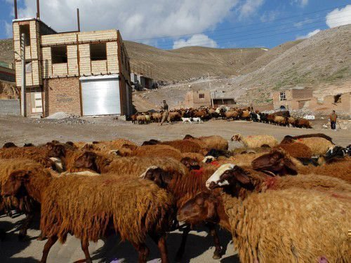 Шерсть курдючных баранов