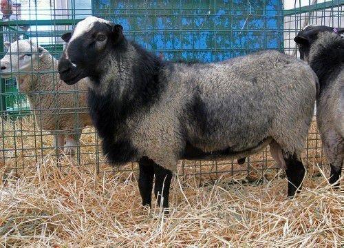 Теплолюбивые овцы