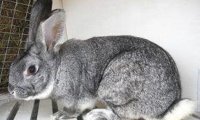Советская шиншилла — кролик для любителей вкусного мяса