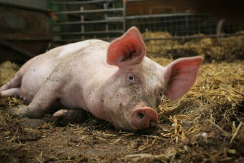 Свинарник с поросенком