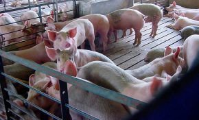 Виды щелевых полов для свинарников