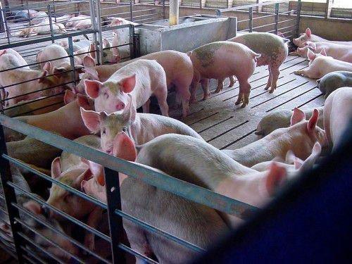 Свиньи в свинарнике