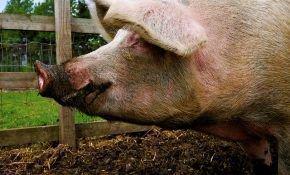 Прибыльный бизнес в домашних условиях – выращивание свиней
