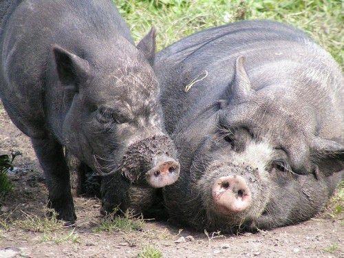 Свиньи на лугу