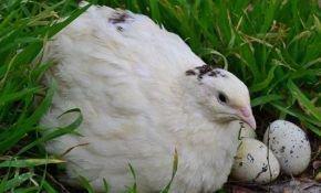 Разведение перепелов и их породы