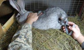 Какие прививки необходимо сделать кроликам?