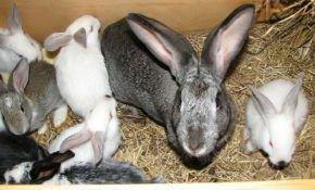 Геморрагическая болезнь - опасное вирусное заболевание для кроликов