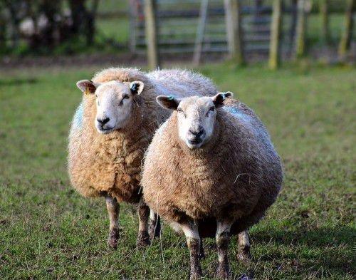 Возрождение овцеводства