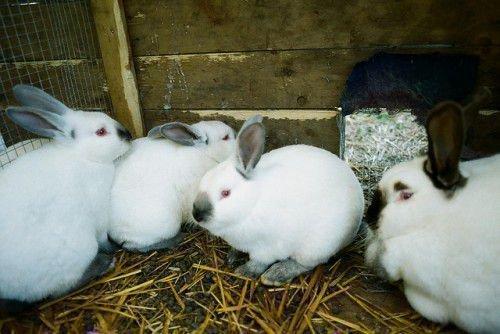 Взрослые кролики на разведение