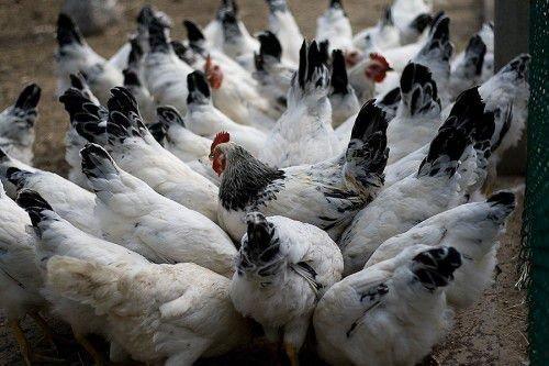 Здоровая популяция кур
