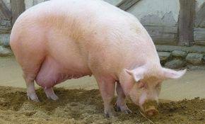 Общие сведения о процессе опороса свиней