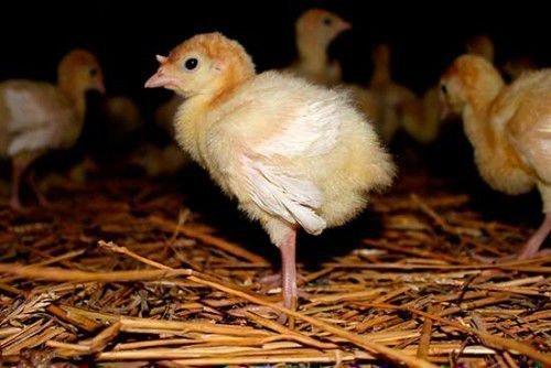 Здоровые пушистые цыплята