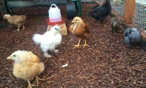 Птицы падают на ноги: что делать и чем лечить домашних кур