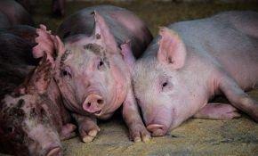 Как бороться с саркоптозом у свиней