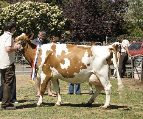 Айширская корова