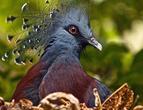 Каштановогрудый венценосный голубь