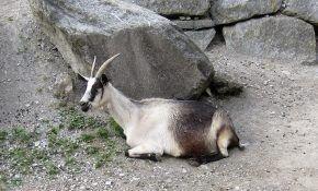 Описание вида Альпийских коз