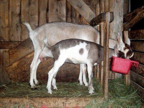 Альпийская коза в козлятнике