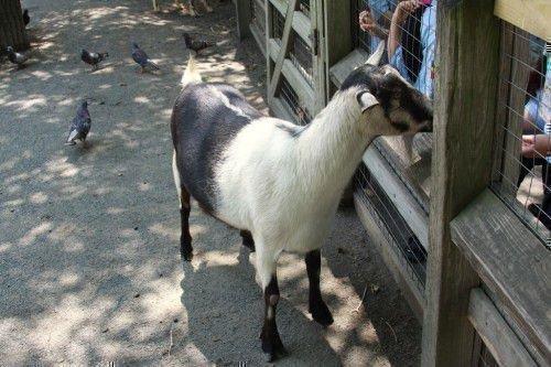 Альпийская коза в загоне