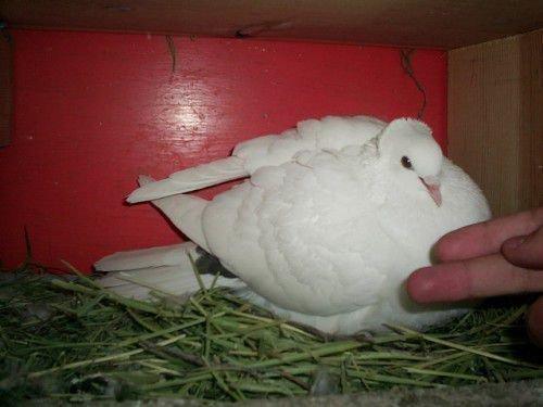 Бакинский голубь