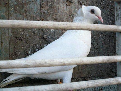 Бакинский голубь белого цвета