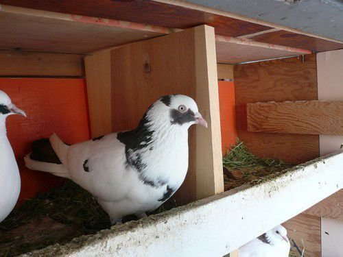 Бакинский голубь серо-белый