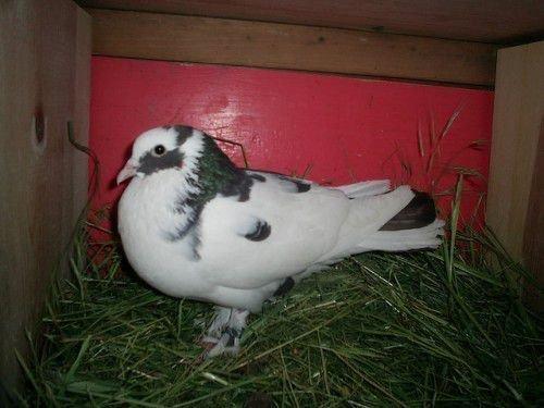 Бакинский голубь шейка