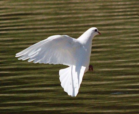 Белый голубь летит