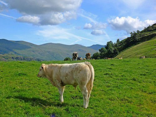 Белый теленок на траве