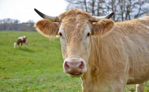 Бежевая корова
