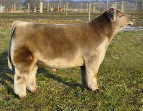 Бежевая корова плюшевая