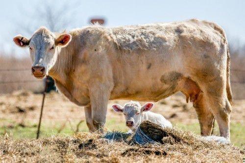 Бежевая корова с теленком
