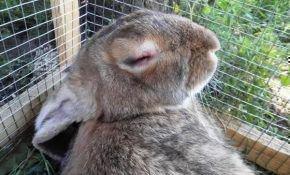 О вакцине для  кроликов для предотвращения миксоматоза и вирусной геморрагической болезни