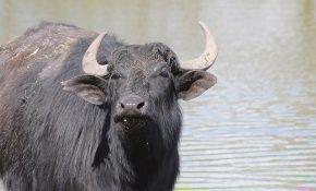 Общая характеристика породы водяного буйвола