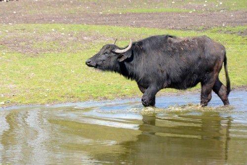 Буйвол в воде