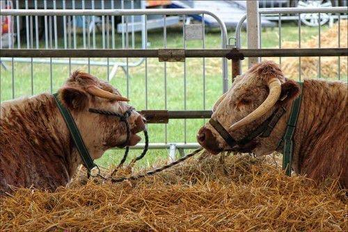 Бык и корова