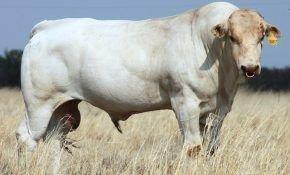 Наибольший бык в мире