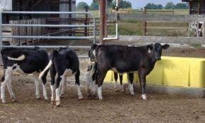 Лейкоз: особенности заболевания у коров