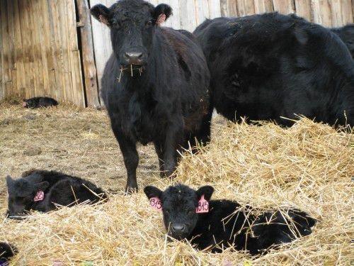 Черные коровы