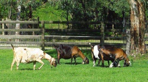 Четыре беременные козы