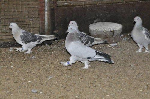 Четыре голубя Такла