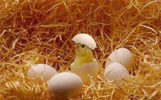 Сколько времени вылупляются из яйца цыплята